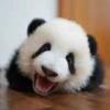大熊猫大人