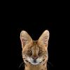 半透明的山猫头像